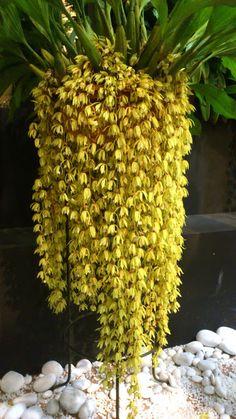OrchidCraze: MAHA Orchid Show 2012