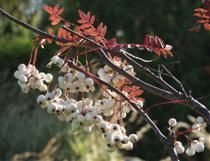 Sorbus koehneana Helmipihlaja I-IV(V) Outdoor Plants, Garden, Flowers, Sun Plants, Garten, Lawn And Garden, Gardens, Gardening, Royal Icing Flowers