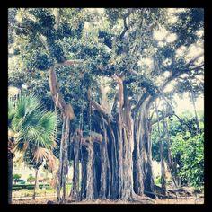 ficus benjamin, palermo's oldest tree.