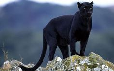 The elusive Black Panther