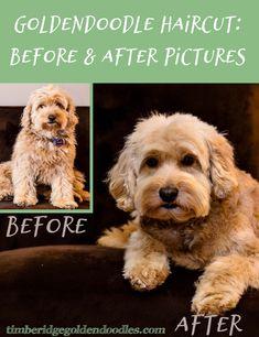professional dog grooming shampoo (paid link) #Dog Goldendoodle Grooming, Dog Grooming Tips, Mini Goldendoodle, Goldendoodles, Labradoodles, Standard Goldendoodle, Pet Tips, Goldendoodle Haircuts, Dog Haircuts