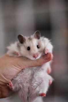 Jonah my dream hamster