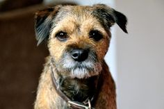 Image courtesy of Paul Holtby. Border Terrier