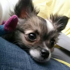 Mojo my long haired chihuahua puppy