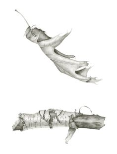 Botanical Drawings — Carrie MeganYou can find Botanical drawings and more on our website. Graphite Drawings, Pencil Drawings, Art Drawings, Drawing Skills, Drawing Sketches, Drawing Ideas, Sketching, Botanical Drawings, Botanical Art