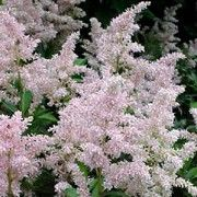 Astilbe x arendsii 'Erika'. Suitable for Living Wall Shade Plant. Click image to get care advice.     Other names: Astilbe 'Erika', Astilbe x arendsii 'Erica', False spirea 'Erika', False goat's beard 'Erika'    Genus: Astilbe    Variety or cultivar: 'Erika' _ 'Erika' is a tall, spreading perennial with finely divided, dark green leaves that open burgundy-red in spring and panicles of pink flowers in summer.