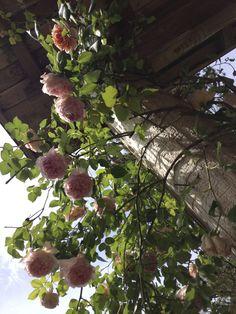 RELAX Fragrant Roses, Peonies, Relax, Garden, Plants, Color, Garten, Gardens, Planters