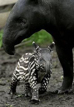 Baby Malayan Tapir