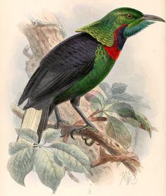 Astrapia rothschildi Förster, 1906. Vernacular names: Huon Astrapia, Rothschild's Astrapia/Bird-of-paradise, Huon Bird-of-paradise.