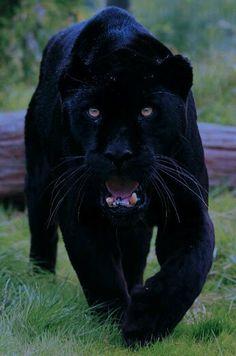 Musta kissa .