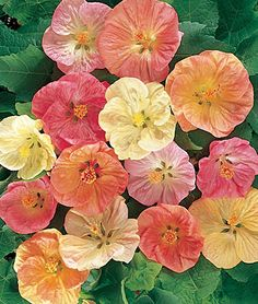 Abutilon, Summer Sherbert Mix.  Can be grown indoors during the winter.