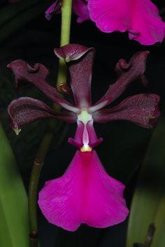 Encyclia cordigera - by Eric Hunt.