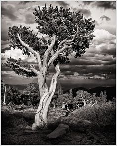 1600 year old Bristlecone Pine tree - Arapaho National Forest, Rocky Mountains, Colorado. this would be a great ink drawing. Pine Trees Forest, Autumn Trees, Colorado National Parks, Pine Tattoo, Palm Tree Drawing, Los Padres National Forest, Bristlecone Pine, Forest Photography, White Photography