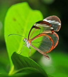 Photo : Phénomène rare de la nature, le papillon Greta Oto a des ailes aussi transparentes que du verre