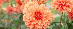 Dahlie (georgíny) - výsadba a pestovanie - Leto, Jún, Záhradné Kvetiny