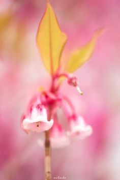 pink and yellow . flower bokeh