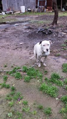 From Camden, AR: Mike the Pit bull had a sad life. He is in need of a foster or an adoption Click to read his story. For more info about Mike, call, text, or email Ellen Tutt, at 870 818-0411, or ektutt@sbcglobal.net