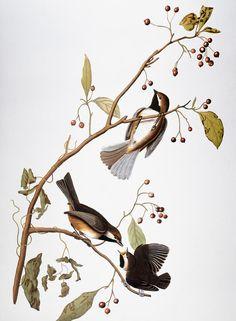 Audubon: Chickadee, (1827-1838) Photograph - Audubon: Chickadee, (1827-1838) Fine Art Print