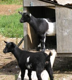 Goat Shelter | Why Goats Are The Best Animal To Have On Your Farm | Self Sufficiency and Homesteading Ideas by Pioneer Settler at http://pioneersettler.com/goats-best-farm-animal/