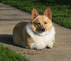 Fat Pembroke Welsh Corgi