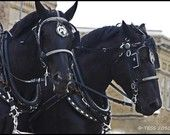 I would love to train my horse to drive a cart, I think they look so beautiful with all the fancy tack