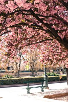 Cherry blossoms in a Paris park  Does  it get any prettier than this!  The parks in Paris teem with life - young and old- always with their beloved pets!