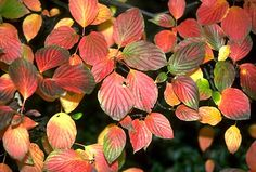 Pagoda dogwood fall (Cornus alternifolia)