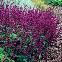 Salvia Purple Rain