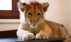 baby lion. Give him to me! *kiss kiss kiss*
