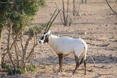 Oryx at Anantara Sir Bani Yas Island