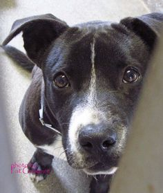 LOOK AT THIS SWEET FACE!!  WHY????? :'( killed 11/15/14  A4769911 my name is Dash. I am a very friendly 10 month old male black/white pit bull mix. I came to the shelter as a stray on Oct 25. available 10/29/14. (30 lbs)