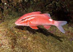 Goat fish, Hawaiian Kumu