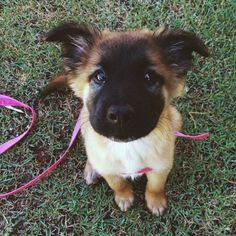 I have puppy fever all the time and she is precious!Oh I have puppy fever all the time and she is precious! Animals And Pets, Baby Animals, Funny Animals, Cute Animals, Puppies And Kitties, Cute Puppies, Cute Dogs, Doggies, Puppies Puppies