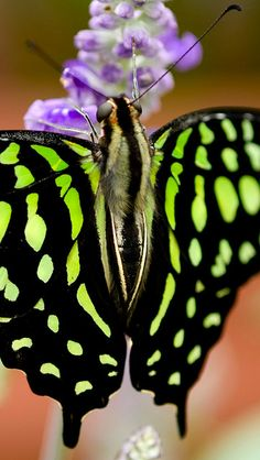 Tailed Jay, Graphium agamemnon (detail). Butterfly wallpaper