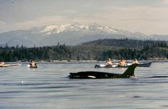 Catching a glimpse of an orka while sea kayaking in British Columbia.