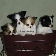 You give me this bundle of papillon puppies and I will keep them all!!!!!