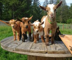Baby Goats On A Wooden Table
