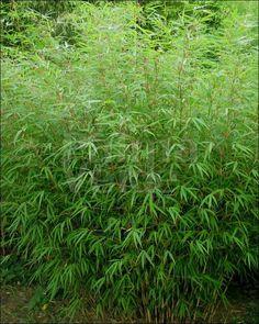 Fargesia rufa - Palma Verde Exoten V.O.F.
