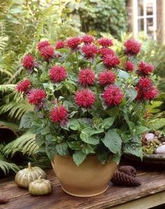 Patio Plants: Container Gardening With Perennials Container gardening with perennials (shown: Monarda Fireball Bee Balm is a petite variety that does well in pots. Patio Plants, Tall Plants, Indoor Plants, Potted Plants, Succulent Gardening, Organic Gardening, Urban Gardening, Container Plants, Container Gardening