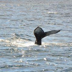 He cumplido un sueño! Después de dos intentos hoy por fin he podido ver ballenas. Las sensaciones son indescriptibles. No dejo de fascinarme ante la naturaleza y el mundo animal. Gracias a @futurismoazoresadventures por una jornada tan bonita y donde el #turismosostenible es patente en todo momento.