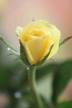 Yellow Rose Bud - Rosas coloridas em tons claros: amizade e solidariedade