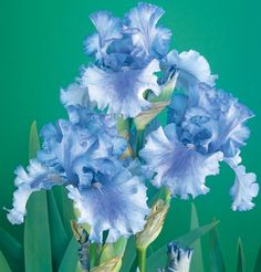 Skywalker | Tall Bearded Iris Schreiner's Iris Gardens NEED THIS ONE!!!