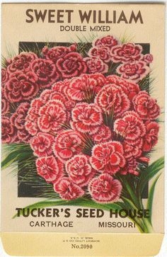 Vintage Flower Seed Packet Tuckers Lithograph SWEET WILLIAM