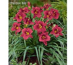 Pardon me.... the vivid color of these reblooming dwarf daylilies has me a little excited!  :-)