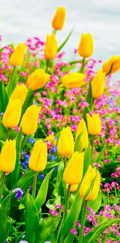Yellow Tulips, Flowers on Lake Geneva, with Swiss Alps, Montreux, Switzerland (Europe travel, vacation)