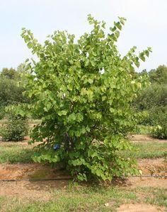 Multi-Stem Eastern Redbud Trees | Cercis canadensis Tree Pictures | Moon Nurseries