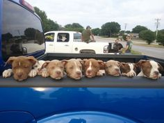 If I had to guess, these pit puppies are being sold out of the back of a pickup on the side of the road. Here's the problem folks right here.