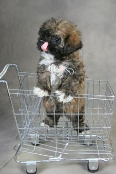 Kinda looks like baby Gizmo. Shih Poo Puppies, Shih Tzu Puppy, Cute Puppies, Dogs And Puppies, Pet Dogs, Pets, Doggies, Beautiful Dog Breeds, Cute Dog Pictures