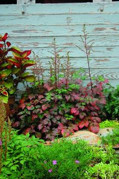 "Spirea 'Color Flash' Astilbe x arendsii - This variety will be released in 2014. Brilliant spring foliage matures to a blend of burgundy, purple and green and then traditional autumn shades come fall. Prefers semi-shade. Height 18-20"". Zones 3-8"