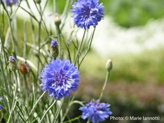Cool weather can be hard to garden in, because you never know how long it will last. But there are many annual flowers that prefer the cool days of spring and fall.
